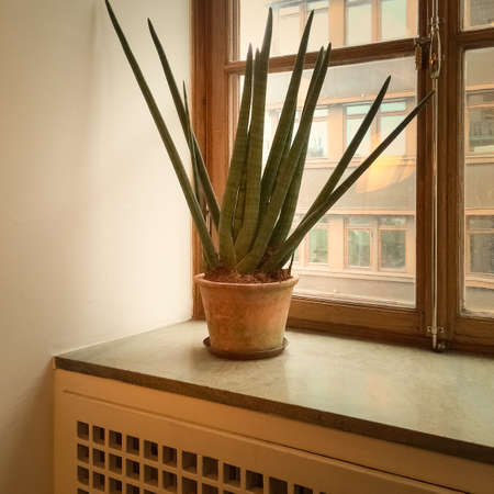 Sansevieria plant on a window sill, home decoration.