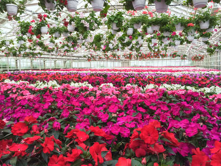 Garden center. Colorful variety of flowers in a greenhouse. 스톡 콘텐츠