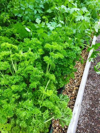 Curly and Italian parsley growing in pots. Summer vegetable garden. Reklamní fotografie