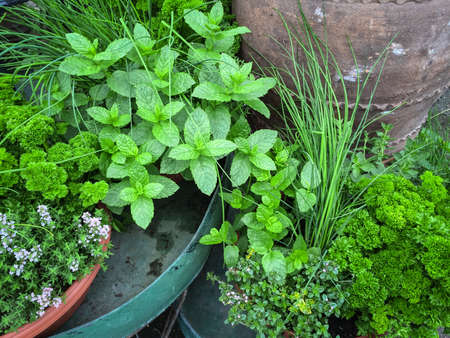 Hierbas verdes comestibles. Menta, perejil, cebollino, tomillo. Foto de archivo - 53118979