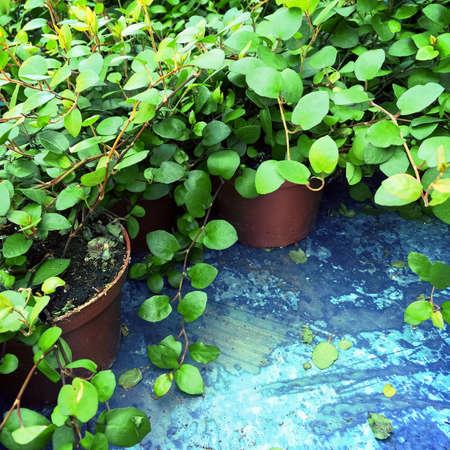 Lebendige grüne Pflanzen in Töpfen, für Haus oder Garten.