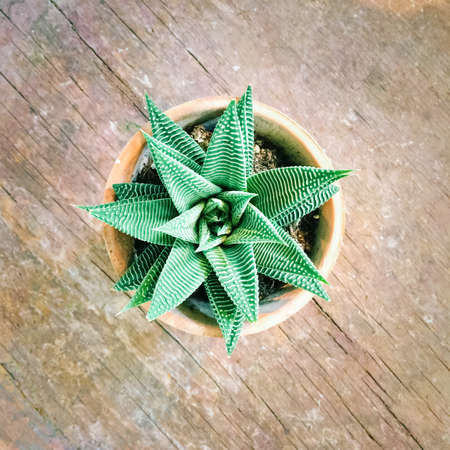 Decorative aloe plant in clay pot, on old wooden surface.