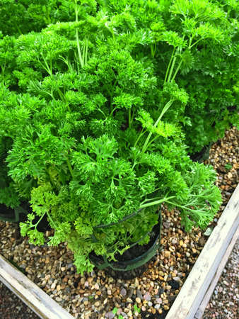 Fresh curly parsley growing in pots. Summer vegetable garden.