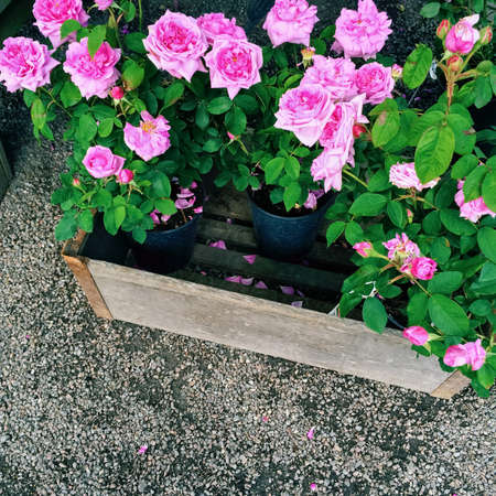 Pots with beautiful pink roses. Summer garden.