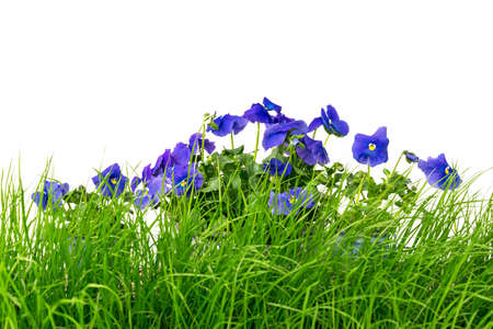 Young green grass and blue pansies, against white background.