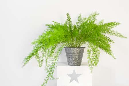 Beautiful plant, asparagus fern in a zinc pot. Asparagus Setaceus. 版權商用圖片 - 100931477