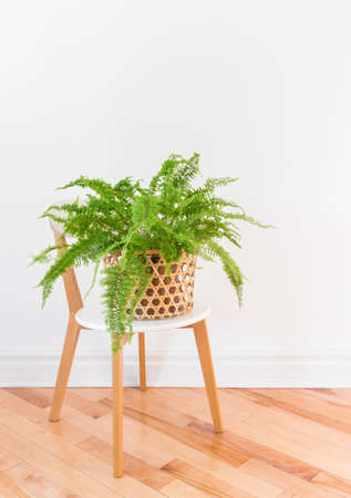 Beautiful green Boston fern plant in a basket on a stylish chair, on wooden floor.