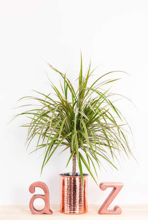 Dracaena marginata tricolor, or Madagascar dragon tree. Tropical plant in a copper pot, and metal letters A and Z on a wooden shelf.