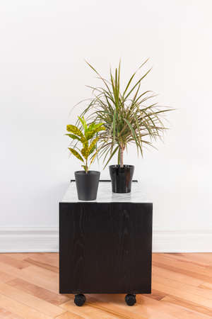 Madagascar dragon tree and Gold Dust Croton plant in black pots, on a side table with wheels. Фото со стока