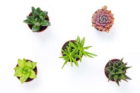 Mini plantas suculentas aisladas sobre fondo blanco. Decoración contemporánea.
