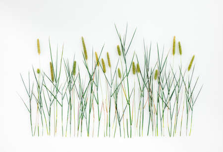 Timothy grass (Phleum Pratense) on white background. Wild grass with seed heads.