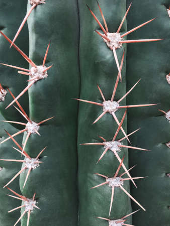 Spiky texture of a big green cactus. Tropical background.