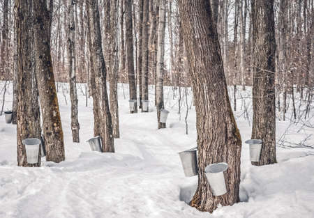 Maple syrup production in Quebec, Canada. Collecting maple sap in a traditional way. Reklamní fotografie