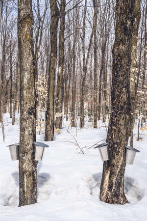 Maple syrup season in rural Quebec. Forest in springtime during maple sap collection.