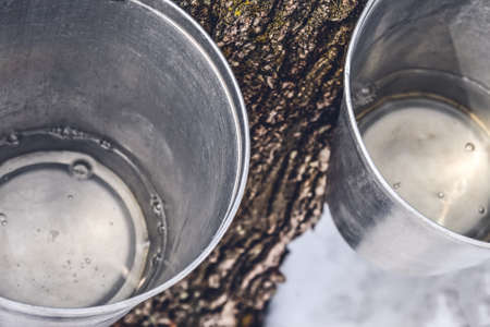 Maple syrup production. Buckets with maple sap collected from trees. Фото со стока
