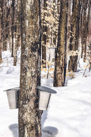 Spring forest during maple sap collection. Traditional maple syrup production in Quebec, Canada.