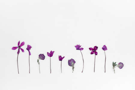 Purple cyclamen and clover herbarium. Dried flowers on white background.