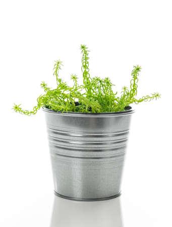 Sedum pianta succulenta in un vaso di metallo, isolato su sfondo bianco. Archivio Fotografico