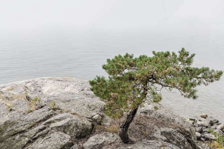 Pine tree growing on rocks near calm water. Scandinavian lake in summer.