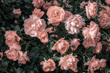 Pastel pink roses growing in the garden in soft light. Standard-Bild - 141304824
