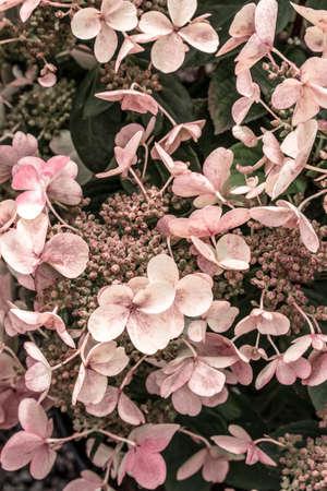 Pink hortensia flowers growing in the garden. Standard-Bild - 141304835