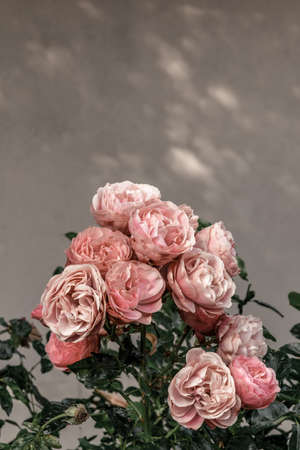 Beautiful pink antique roses in the urban garden. Standard-Bild - 141424876