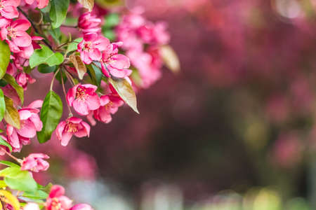 Delicate pink apple tree blossom in sunlight. Blurry background with copy space. Standard-Bild