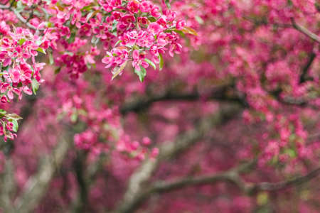 Beautiful blooming pink spring garden. Apple trees blossom.