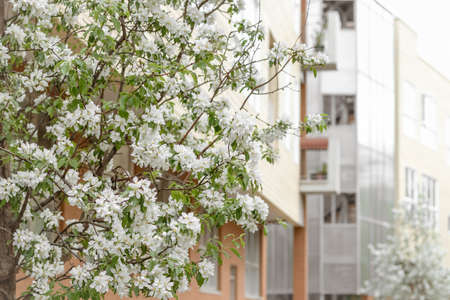 Blooming cherry tree in front of a modern residential building. Spring in the city. Standard-Bild