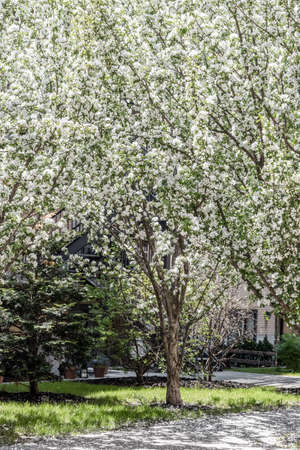 White blooming tree growing in the patio on a sunny day. Spring in the city. Standard-Bild - 141927740