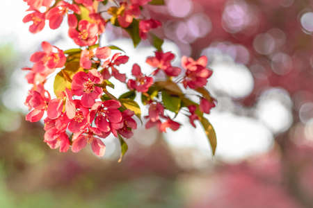 Bright pink apple tree blossom in sunlight. Blurry background. Standard-Bild - 141927750