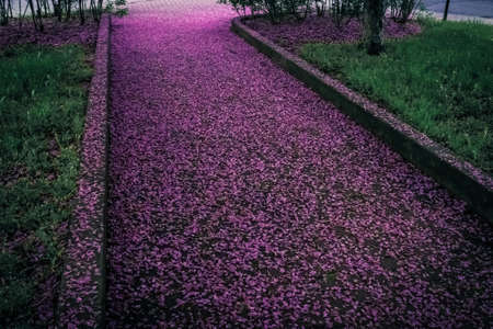 Spring alley covered in purple flower petals. Montreal (Quebec, Canada). Standard-Bild
