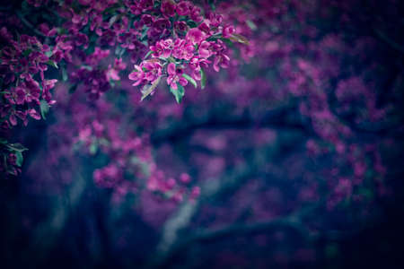 Dark spring garden with beautiful purple blooming trees Standard-Bild - 143619707