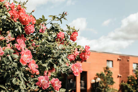 Wild roses blooming in front of a brick building. Spring in the city.