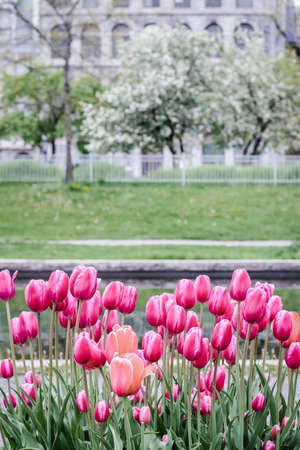 Pink tulips growing in a spring park with blooming trees. Old Port of Montreal (Quebec, Canada). Standard-Bild