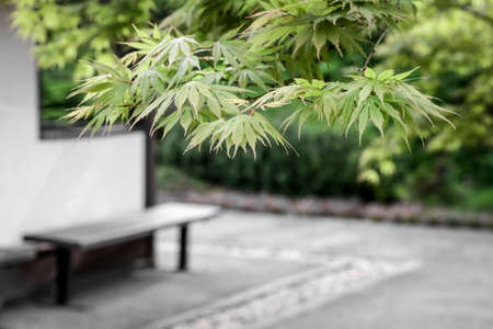 Japanese maple trees and a bench in a fresh spring garden. Standard-Bild - 147188837