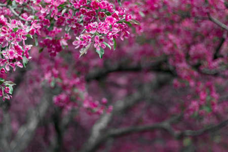 Vibrant pink apple tree blossom. Blurry background with copy space.