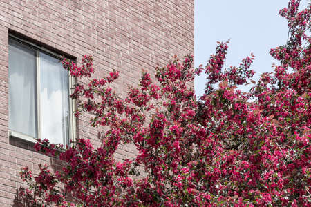 Pink blooming tree in front of a brick building. Spring in the city. Standard-Bild