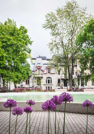 Purple Allium flowers in a spring city park. Square Saint-Louis, Montreal (Quebec, Canada). Standard-Bild - 148689980