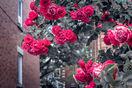 Flaming red roses blooming in front of brick buildings. Springtime in the city. Standard-Bild - 148689981