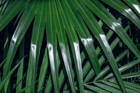 Bright green palm leaf with sunlight reflection. Natural background.