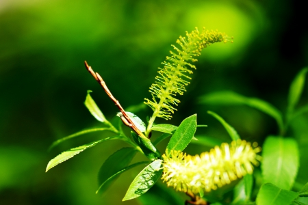 The blossoming branch of a willow on a green background  photo