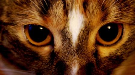 tricolour: Gaze motley tri-colour cat. Stock Photo