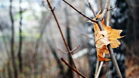 Herbst Ahornblatt gefangen in den �sten eines Bush. Lizenzfreie Bilder