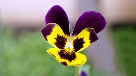 Einer der ersten, fr�hen Fr�hling Blumen bl�hen violett tricolor. Lizenzfreie Bilder