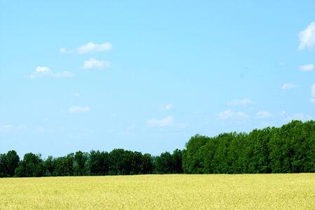 rural development: Field of ripe wheat around a green forest.