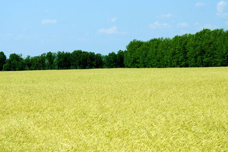 Field of ripe wheat around a green forest.