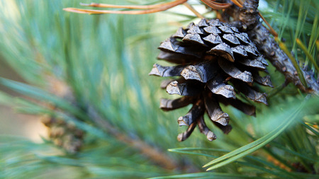 Dry pine cone hanging on a branch .