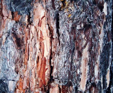 pinaceae: Pine genus of coniferous trees of Pine  Pinaceae