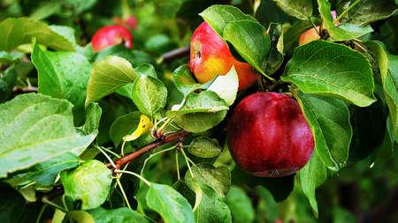 Reife rote �pfel auf die Zweige des Apfelbaum h�ngen.